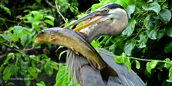 Heron with Suckerfish